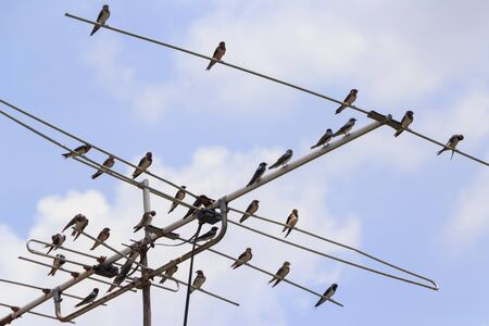 common tailor birds perched on antenna