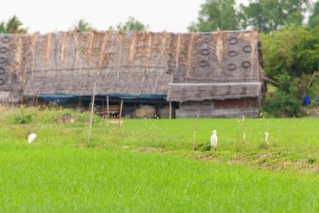 many bird in farm