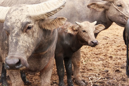 buffalo in farm Stock Photo
