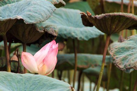 pink lotus flower in swamp Stock Photo