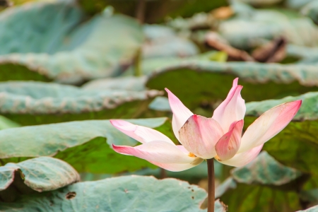 pink lotus flower in swamp Stock Photo