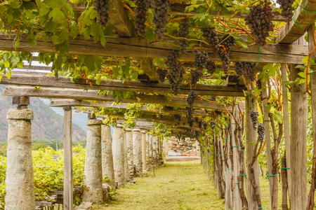 typical: pylons, stone and lime columns and chestnut poles support the pergola of rows of grapes