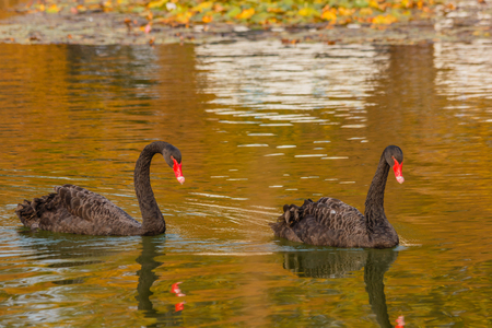 It is a water selvatic bird with black plumage and a red beak with a white tip