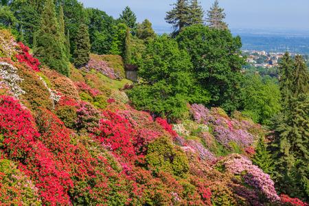 la fioritura dei rodondendri a maggio, è uno spettacolo di colori dal bianco al lilla al rosso Archivio Fotografico
