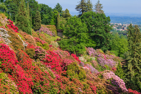 the flowering of rhodondendros in may,is a show  of colors from white to lilac to red