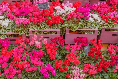 The  cyclamen is a particular flower  with bright colors that resists cold temperatures down to minus three degrees. Archivio Fotografico