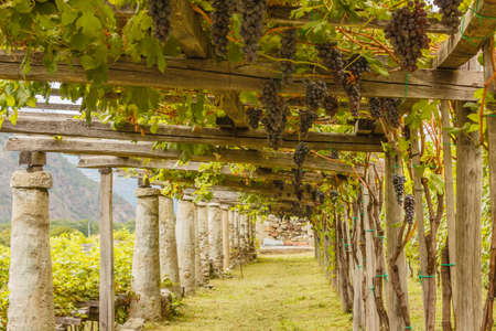 the typical agricultural architecture of the vineyards of Carema, in Piedmont, Italy I / pylons made of stone and lime columns and chestnut poles support the pergola of rows of grapes