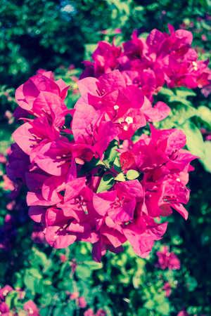 Vintage Bougainvillea flowers photo