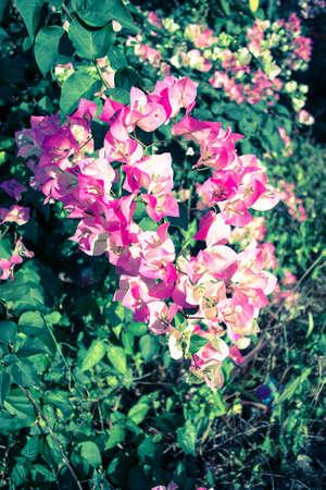 bougainvillea flowers: Vintage Bougainvillea flowers