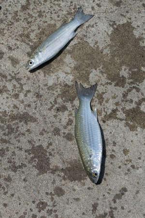 grey mullet: Fish,Flathead mullet, Grey mullet, Striped mullet