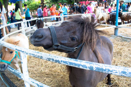mini farm: Shetland pony horse