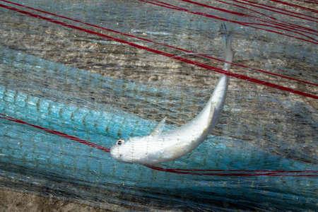 chub: fresh fish caught with fishing net