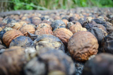 areca: dried betel nut or areca nut