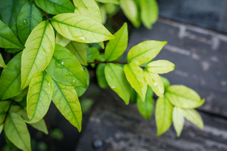 religiosa: Tropical fragrant leaves (Wrightia religiosa Benth) Stock Photo