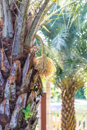 date palm: date palm