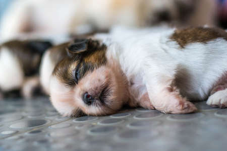 shih: Shih Tzu puppies