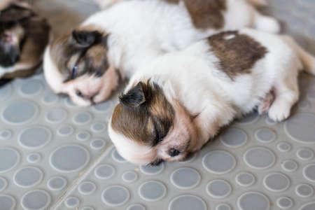 blooded: Shih Tzu puppies