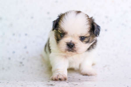 tzu: Shih Tzu puppies