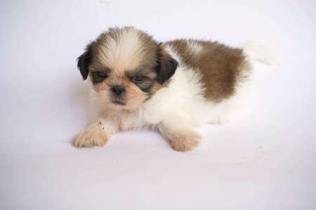 shih: Shih Tzu puppies