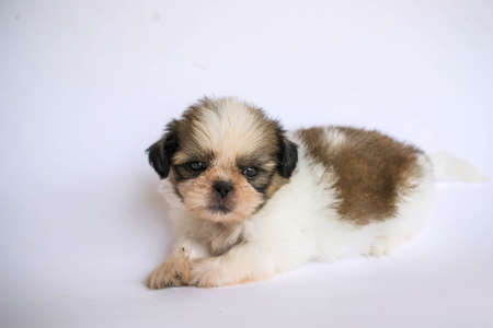 full blooded: Shih Tzu puppies