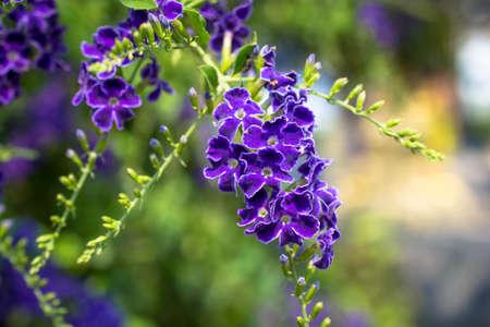 dewdrop: Purple flower, Golden Dewdrop, Pigeon Berry, Sky Flower