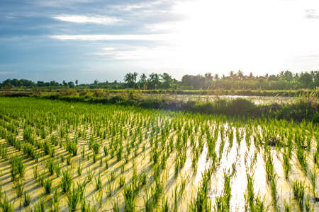 Paddy field cultivation