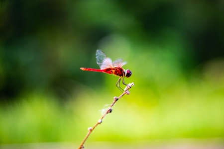 Red Dragonfly in the nature habitat