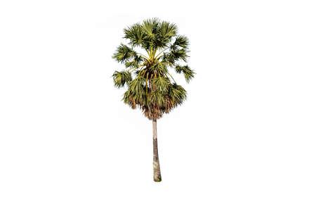Sugar palm tree on white background Stock Photo