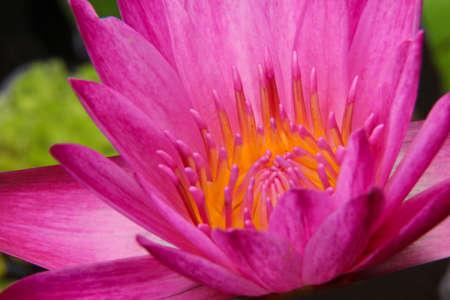 Pink Thailand Lotus