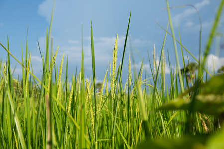 Abstract green paddy rice grass in spring season background concept summer sunshine image, countryside nature view