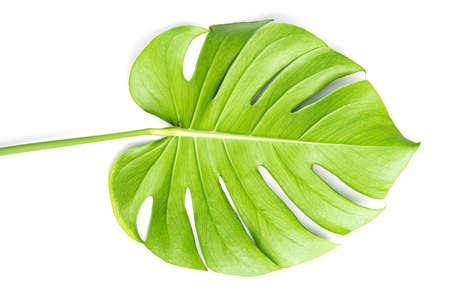 Isoler les grandes feuilles de Monstera vert foncé, plante à feuillage tropical philodendron poussant à l'état sauvage sur fond blanc avec concept pour la texture des feuilles de verdure d'été à plat