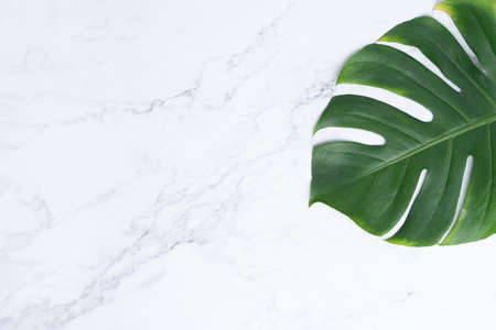 Dark green Monstera large leaves, philodendron tropical foliage plant growing in wild on white marble rock background concept for flat lay summer greenery leaf texture rainforest floral