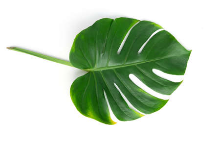 Isolate Dark green Monstera large leaves, philodendron tropical foliage plant growing in wild on white background with concept for flat lay summer greenery leaf texture rainforest floral