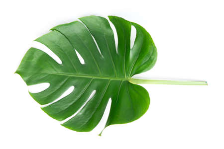Dark green Monstera large leaves, philodendron tropical foliage plant growing in wild on white background