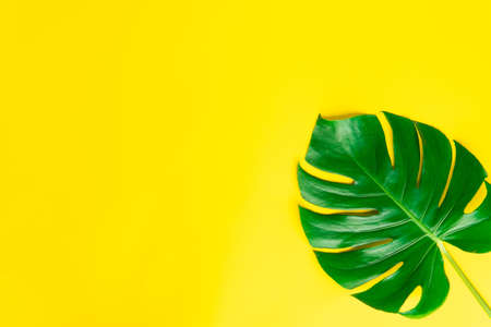 Isolate Dark green Monstera large leaves, philodendron tropical foliage plant growing in wild on yellow background with clipping path concept for flat lay summer greenery leaf texture rainforest flora