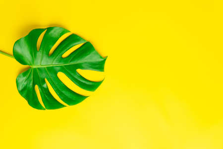 Isolate Dark green Monstera large leaves, philodendron tropical foliage plant growing in wild on yellow background with clipping path concept for flat lay summer greenery leaf texture rainforest floral