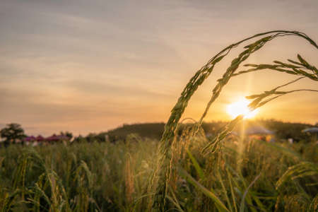 Rice field plant in sunset background concept for yellow cereal farm agriculture garden nature farm corp, Spring sunrise in China farmland. Abstract Indonesia rye reap cultivation gold spike fall.