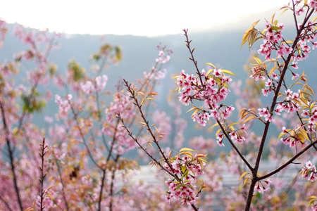 soft   focus: fresh Wild Himalayan Cherry blur and soft focus