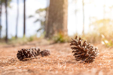 soft focus Pine cones in forest on the Pine cones leaf background Stock Photo