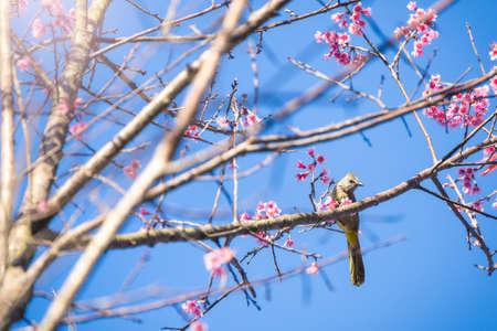 Soft focus Cherry Blossom or Sakura flower on nature blur background  with bird