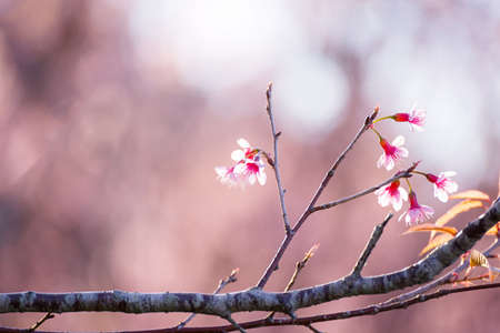 Soft focus Cherry Blossom or Sakura flower on nature blur background
