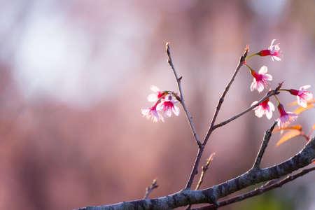 Soft focus Cherry Blossom or Sakura flower on nature blur background