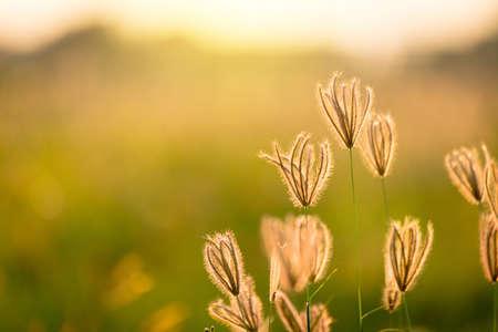 Урожай фото Крупным планом мягкий фокус немного полевых цветов травы на фоне восхода и захода солнца Фото со стока