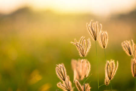 Vintage photo of Close up soft focus a little wild flowers grass in sunrise and sunset background