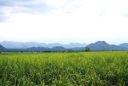 sugar cane farm: Sugarcane Farm on dusk. Stock Photo