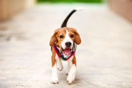 perro corriendo: El pequeño cachorro de perro Beagle que se ejecuta en el zoom Foto de archivo