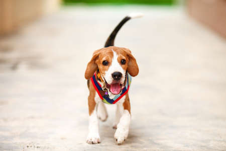 Little puppy Beagle dog running zoom in