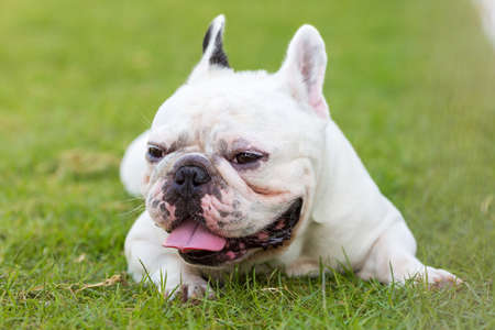 lay down: French bulldog lay down on the garden