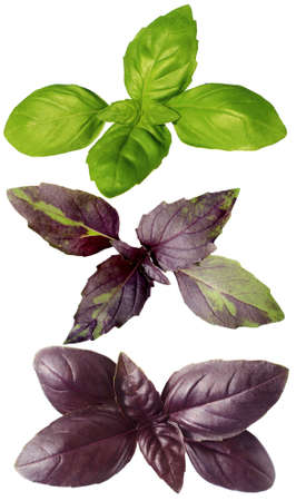 Juicy isolated violet, green and motley basil on a white background, levitation. Banner, advertisement, advertisement, tablecloth.