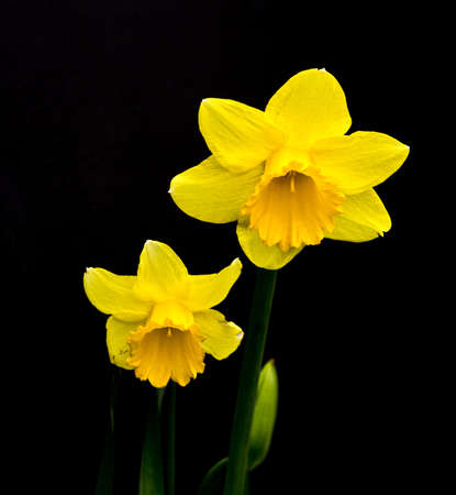 macr: Yellow narcissus isolated on the black background Stock Photo